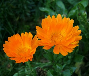 Календула лекарственная (ноготки) (calendula officinalis l.)